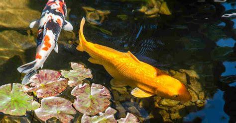 easiest fish varieties  stock  backyard pond