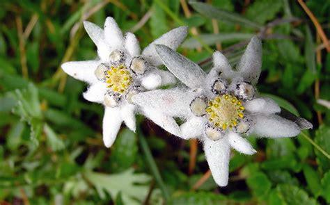Stella Alpina Flower : 39a Marcia Non Competitiva