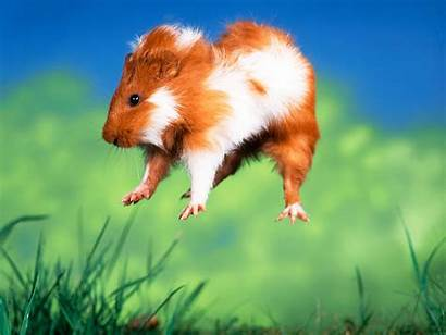 Guinea Pig Pigs Pogo Ing Pets Many