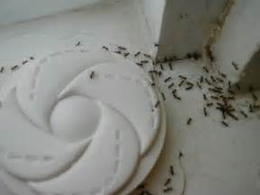 Little Ants In Bathroom by How To Deal With Small Black Ants In House