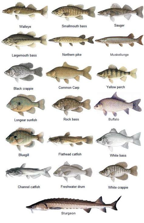 fish species game fish species   st croix river