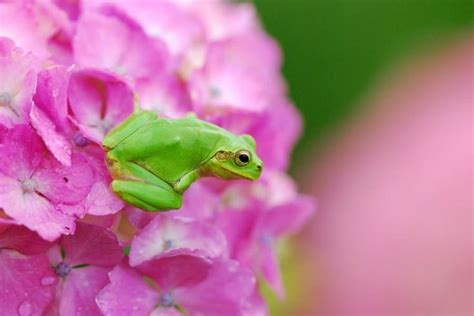 Frong and the hydrangea | Frog, Tree frogs, Frog and toad