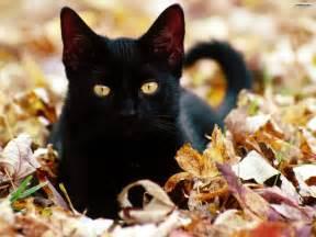 3 black cat youwall black cat wallpaper wallpaper wallpapers free