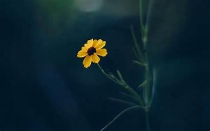 Flower Yellow Cosmos 4k Background Blur Ultra
