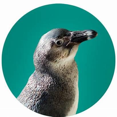 Penguins Handsel Aquarium Myrtle Ripley Penguin
