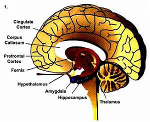 Diagram Illustrating The Major Components Of The Limbic