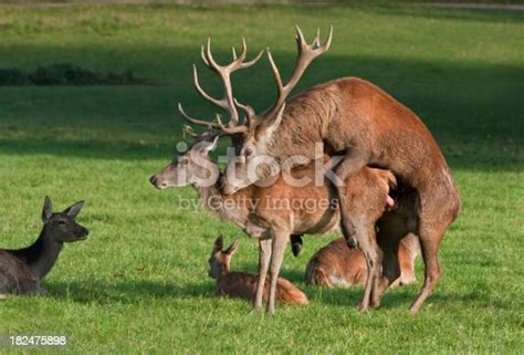 red deer copulation stock photo  pictures  animal