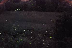 Lightning Bugs At Night | www.imgkid.com - The Image Kid ...