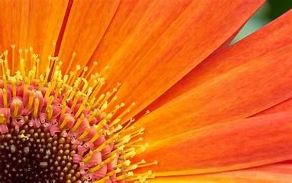 Flowers Flower Computer Fall Wallpapers Orange Desktop