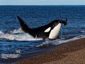 Killer whale | orca - Hunting strategies,Facts and ...