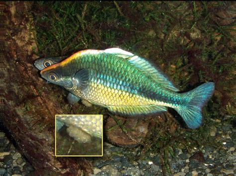 la reproduction du poisson arc en ciel melanotaenia param 232 tres d 233 roulement alimentation