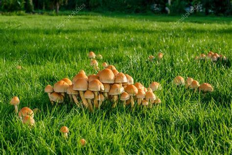 mittel gegen pilze im garten paddestoelen op groen gras stockfoto 169 sportactive 63406099