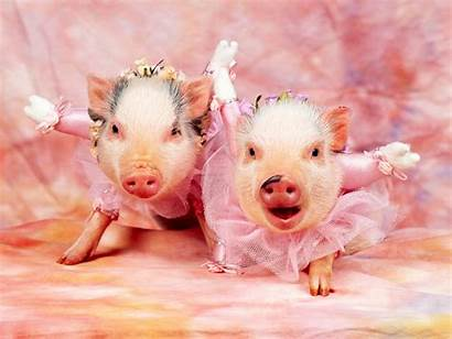 Pig Background Wallpapers Cool Pigs Piggy Backgrounds