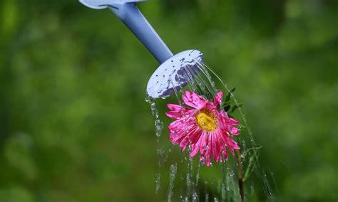 Astern Pflanzen Und Pflegen by Astern Pflegen 187 Gie 223 En D 252 Ngen Vermehren Und Mehr