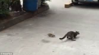 why does my cat run away from me shows terrified cat who was scared of a rat