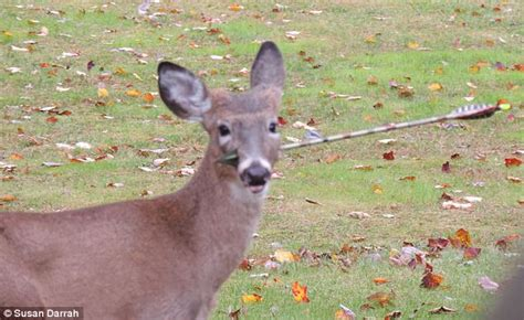 jersey deer picrured   arrow   face