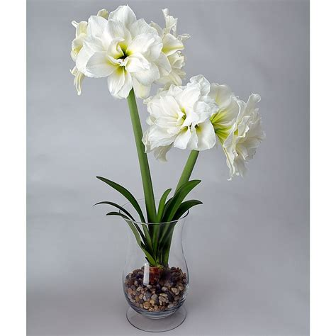 shop 5 in amaryllis bulbs 28 images plantfiles