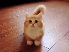 munchkin cat scottish fold scottish fold munchkin