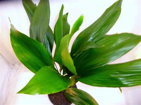 Schusterpalme Als Zimmerpflanze by Aspidistra Elatior Erdpflanze F 252 R Semi Hydro Zimmerpflanze
