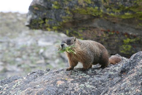 marmot control extermination removal get rid of marmots