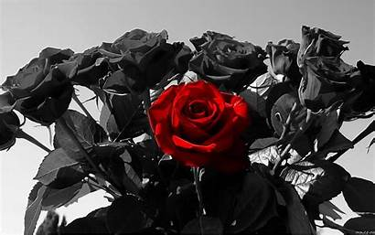 Rose Roses Wallpapers Desktop Computer Flowers Background