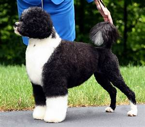 DOG OF THE WEEK: Portuguese Water Dogs [apartmentpets 538.1]