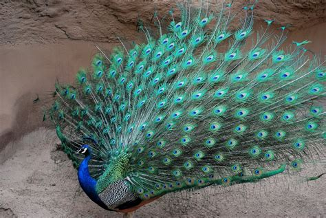 colorful peacock peacock the most beautiful and colorful bird in the world