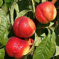 Nectarine Fruit Trees