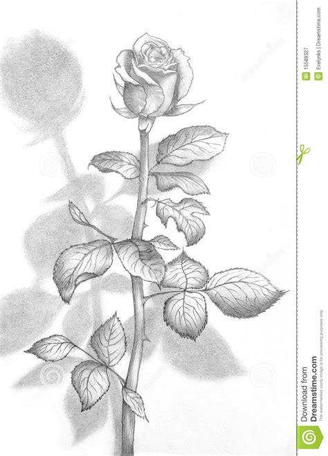 pencil drawing   beautiful rose stock illustration