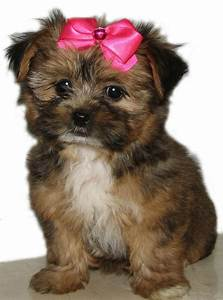 Pix For > Teacup Yorkie And Maltese Mix | Cutest Puppies ...