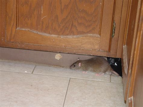 Mouse In Kitchen What To Do by Rodent Pictures Rat Mouse Photos Images