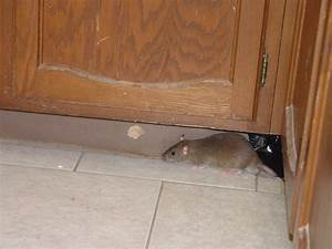 rodent pictures rat mouse photos images With mice in between floors
