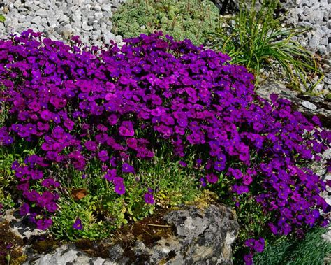 GardensOnline: Aubrieta deltoidea