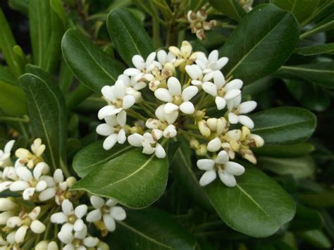 arbusti sempreverdi da vaso pittosporum tobira pitosforo o pitosporo arbusti