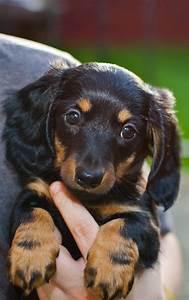 puppy dogs haired dachshund puppy