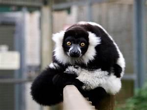 Wallpaper lemur... Cute Lemur Quotes