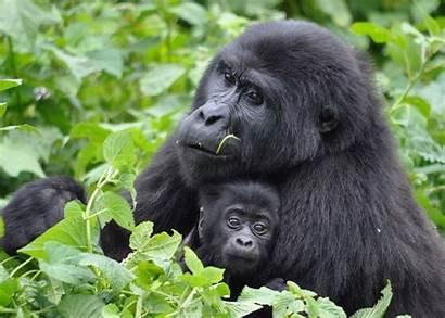 Gorilla Rwanda Uganda Tracking Safari Mother Gorillas