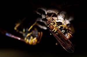 Wespen Im Haus : wespen im haus und dach vertreiben ~ Lizthompson.info Haus und Dekorationen
