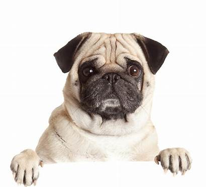 Pug Chien Toutou Dogs Animalerie Haircuts Chiens