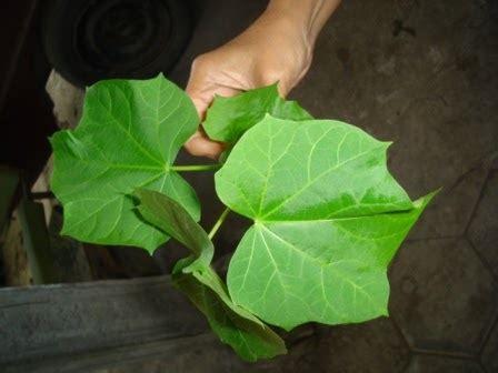 aneka tumbuhan obat membesarkan penis dengan daun jarak