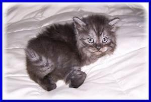Kitten Colors