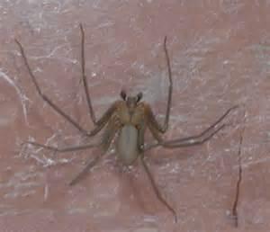 Brown Recluse Spider Web