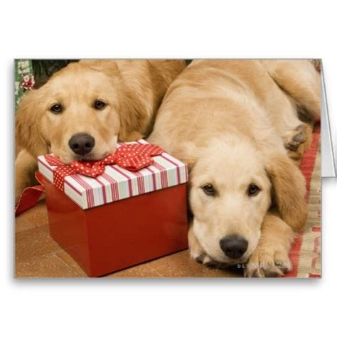 golden retriever puppies  christmas gift holiday card