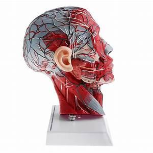 1 1 Human Half Head  U0026 Neck W  Vessel Nerve Anatomy Model