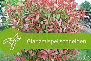 4 Jahreszeiten Hecke : glanzmispel schneiden 2 jahreszeiten und 4 schnittarten ~ Lizthompson.info Haus und Dekorationen