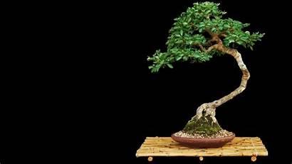 Bonsai Tree Res Hi Desktop Zen Wiki
