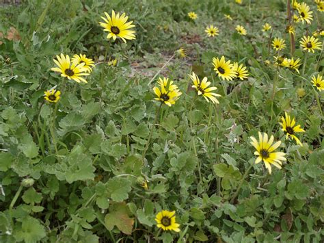 plant with like flowers weed profile cape daisy or capeweed arctotheca calendula agritapestry