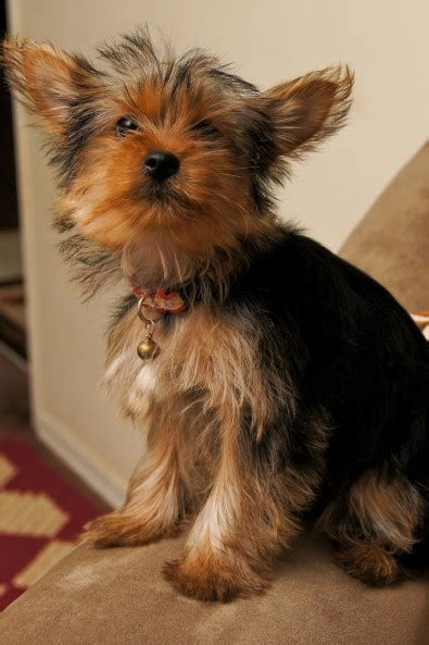 How Much Does A  Ee  Yorkie Ee   And Teacup Yorkies Cost