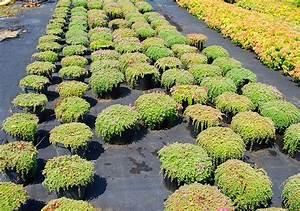 Couvre Sol Vivace : plante oasis catalogue plantes ~ Premium-room.com Idées de Décoration