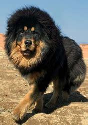 Tibetan Mastiff Care A Lot Pet Supply